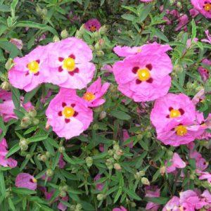 Cistus Incanus roos