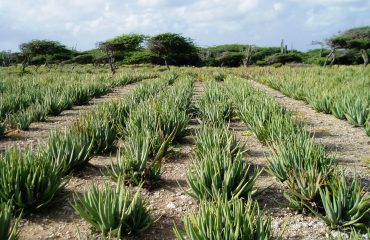 Aloe vera in het veld in mexico