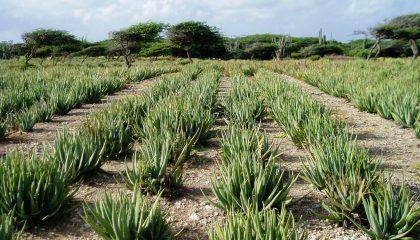 Aloe vera in het veld in mexico