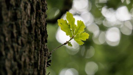 Eikenboom processierups klachten behandelen