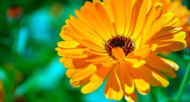 Calendula de kracht van moeder natuur